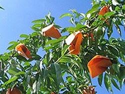 岡山の地酒 きびの吟風 とろりん もも酒 桃の袋かけ
